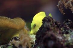 Gelber Zapfen Stockbilder