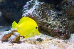 Gelber Zapfen im Wasser Lizenzfreie Stockfotografie