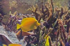 Gelber Zapfen (Zebrasoma flavescens) Stockfoto
