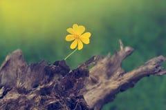 Gelber Zierpflanzenbau auf Bauholz im Naturhintergrund Lizenzfreies Stockfoto