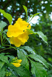 Gelbes Ältestes, gelbe Glocken oder Trompetenrebblüten [Wissenschaftlicher Name: Tecoma-stans] Lizenzfreie Stockfotos