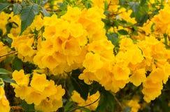 Gelbes Ältestes, schöne gelbe Blumen Trumpetbush blühen auf einem tr lizenzfreie stockfotos