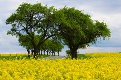 Gelbes ölrapsfeld Lizenzfreie Stockfotos
