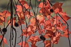 Gelbes Ahornblatt Stockbilder
