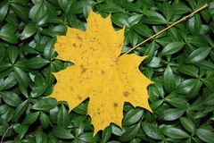Gelbes Ahornblatt stockfoto