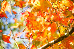 Gelbes Ahornblatt stockbild