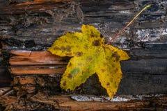 Gelbes Ahornblatt auf hölzernem Herbsthintergrund stockfoto
