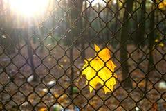 Gelbes Ahornblatt auf Zaun Stockfoto
