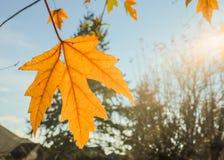 Gelbes Ahornblatt bestrahlt durch die Sonne; Herbstniederlassungen und blauer Himmel im Hintergrund Lizenzfreies Stockfoto