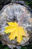 Gelbes Ahornblatt im Herbst (Acer-platanoides) Stockfotografie