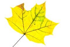 Gelbes Ahornblatt im Herbst mit Adern Lizenzfreie Stockfotos