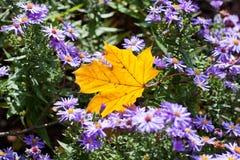 Gelbes Ahornblatt mit lila Blumen Lizenzfreies Stockfoto