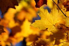 Gelbes Ahornblattlaub Stockbilder