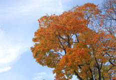 Gelbes Ahornholz auf blauem Himmel Stockfotografie