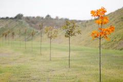Gelbes Ahornholz in einer Zeile der grünen Ahornhölzer Lizenzfreies Stockbild