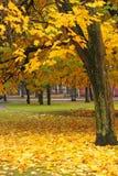Gelbes Ahornholz, Herbst Lizenzfreie Stockfotos