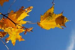 Gelbes Ahornholz. Herbst Lizenzfreies Stockbild