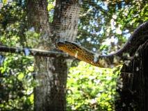 Gelbes Anakonda Eunectes notaeus, das einen Baum klettert lizenzfreies stockfoto