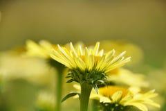 Gelbes blühendes Gänseblümchen Stockbild