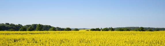 Gelbes blühendes Rapssamenfeld und -wald gegen das klare Blau stockfotografie