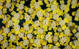 Gelbes Blütenstandkraut (Achillea-millefolium) Stockfotografie