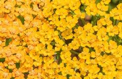 Gelbes Blütenstandkraut (Achillea-millefolium) als Hintergrund Lizenzfreie Stockfotos