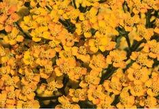 Gelbes Blütenstandkraut (Achillea-millefolium) als Hintergrund Lizenzfreies Stockfoto