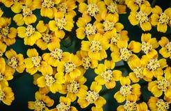 Gelbes Blütenstandkraut als Hintergrund Stockfotografie