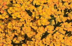 Gelbes Blütenstandkraut als Hintergrund Lizenzfreie Stockfotografie