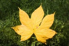 Gelbes Blatt auf dem Busch, trocknen Blätter in der Herbstsaison mit Sonnenlicht Stockfotografie
