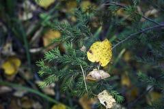 Gelbes Blatt des Herbstes auf einem Tannenzweig Stockfoto