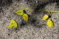 gelbes Blatt im felsigen Boden Stockfoto