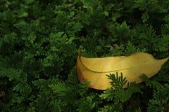 Gelbes Blatt unter grünen Blättern Stockbild