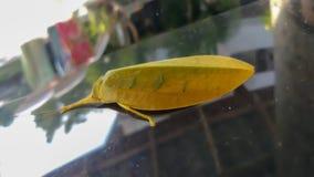 Gelbes Blattinsekt auf Windschutzscheibe stockbild