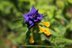Gelbes blaues wilde Blume Melampyrum-nemorosum L , Sommer Stockfoto