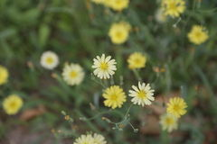 Gelbes Blume ï ¼  lizenzfreies stockbild