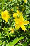 Gelbes Blumen der Natur Stockfoto