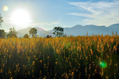 Gelbes Blumen-Feld Lizenzfreie Stockfotos