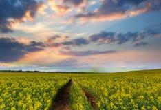 Gelbes Blumen-Feld Lizenzfreie Stockfotografie