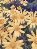 Gelbes Blumen-Frühjahr Stockfoto