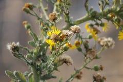 Gelbes Blumen-und Löwenzahn-Verfallen Stockbilder