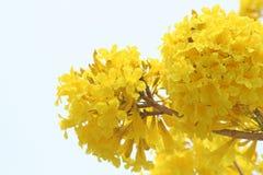 Gelbes Blumenblühen, goldener Baum oder Schmiere Pui stockfoto