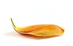 Gelbes Blumenblatt der Tulpe stockfoto