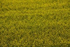 Gelbes Blumenfeld Stockbilder
