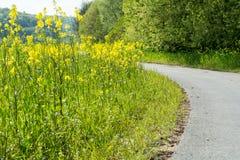 Gelbes Blumenfeld des Rapssamens auf der Seite eines Weges für Fahrräder Lizenzfreies Stockfoto