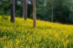 Gelbes Blumenfeld in unscharfem Hintergrund Stockbild