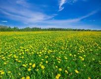 Gelbes Blumenfeld unter blauem bewölktem Himmel lizenzfreie stockfotos