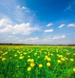Gelbes Blumenfeld unter blauem bewölktem Himmel stockfoto