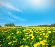 Gelbes Blumenfeld unter blauem bewölktem Himmel Lizenzfreie Stockbilder