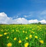 Gelbes Blumenfeld unter blauem bewölktem Himmel lizenzfreies stockbild